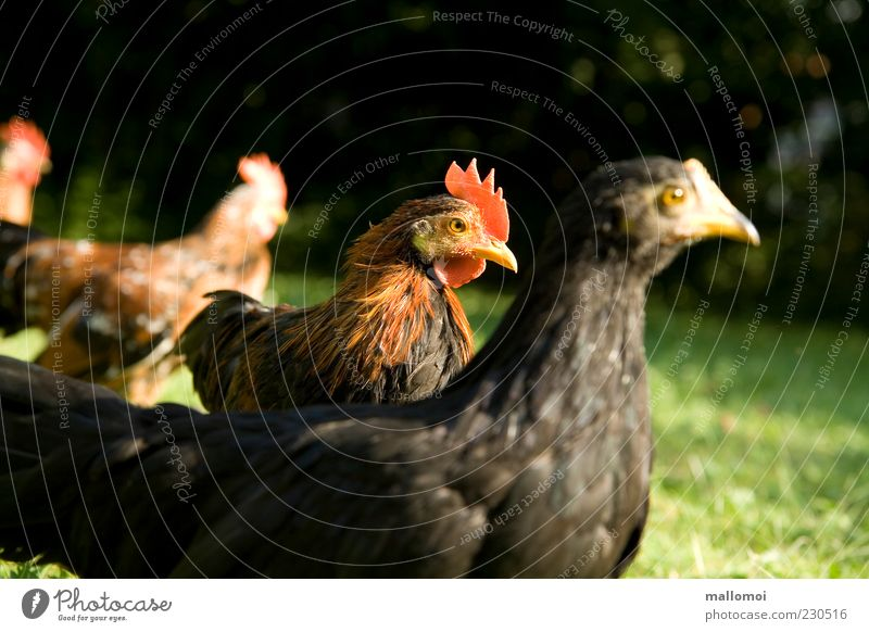 Always the focus Nature Animal Farm animal Barn fowl Group of animals Self-confident Rooster Ecological Keeping of animals Livestock breeding Cockscomb Poultry