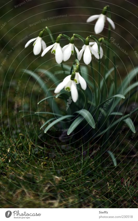 flowering snowdrops Snowdrop Spring flower Spring flowering plant Spring fever Blossom March Dark green Blossoming Wild plant galanthus White Green Cute