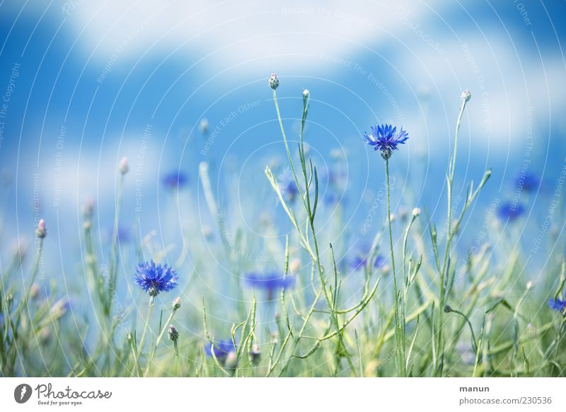 cornflowers Nature Sky Summer Beautiful weather Plant Flower Wild plant Cornflower Blue Colour photo Exterior shot Deserted Day Sunlight Shallow depth of field