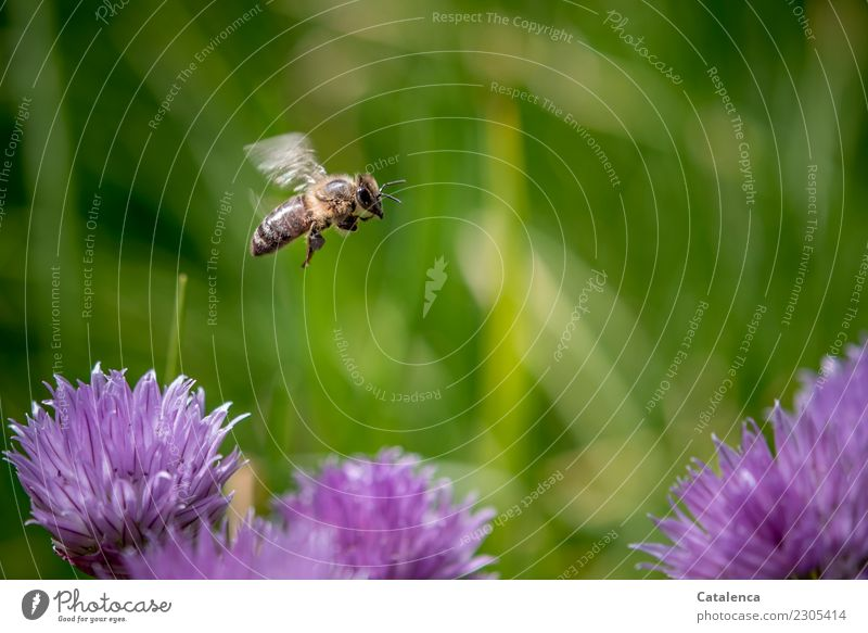 A honey bee flying over pink chive blossoms Nature Plant Animal Summer Beautiful weather Grass Blossom Chives Garden Bee Honey bee 1 Blossoming Flying Growth