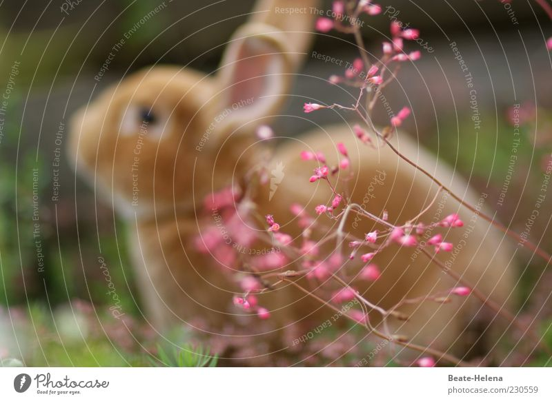 Hooray, the spring is here! Easter Spring Animal Pet Farm animal Sit Soft Brown Pink Emotions Easter Bunny Hare & Rabbit & Bunny Spring flower Spring fever