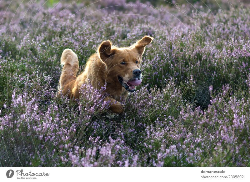 I want fun! Summer Nature Landscape Plant Animal Beautiful weather Bushes Blossom Wild plant Heathland Park Pet Dog Golden Retriever 1 Blossoming Hunting