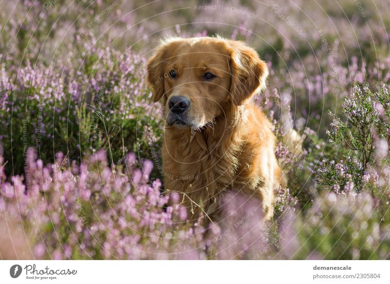 Goldi in the back light. Nature Dog Plant Summer Green Landscape Flower Animal Happy Freedom Brown Pink Together Friendship Leisure and hobbies Park