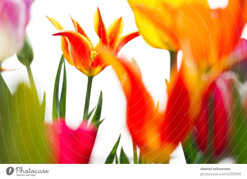 Nature Green White Red Plant Yellow Blossom Spring Fresh Flower Blossoming Stalk Tulip Blossom leave Multicoloured