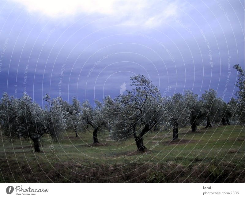 Olives in the storm Olive tree Tree Gale Umbria