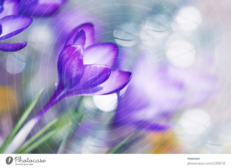 flower dream Nature Spring Plant Flower Blossom Crocus Exceptional Fragrance Bright Kitsch Beautiful Spring fever Colour photo Exterior shot Close-up Deserted