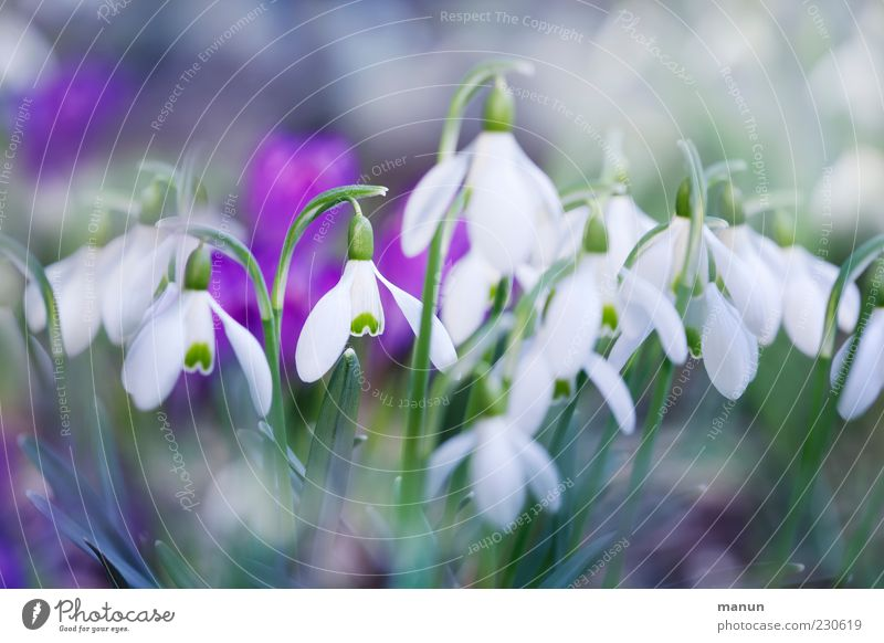 spring blossoms Nature Spring Plant Flower Leaf Blossom Snowdrop Spring flower Fragrance Beautiful Cold Natural Spring fever Colour photo Exterior shot Close-up