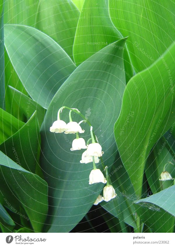 lily of the valley (or? +g+) Green White Leaf Flower Lily of the valley Contrast