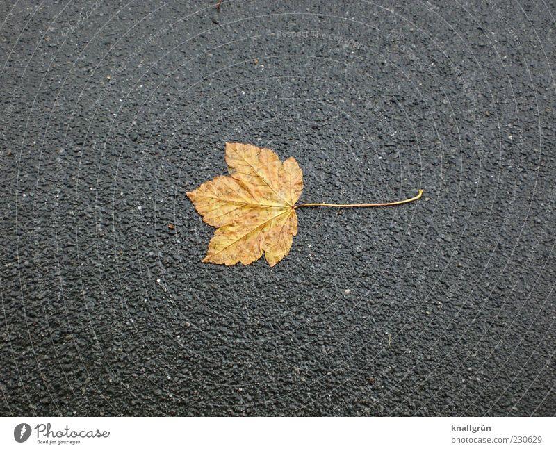 Nature Leaf Loneliness Autumn Gray Brown Wet Gloomy Transience End Asphalt Autumn leaves Shriveled Tar Bad weather Maple leaf