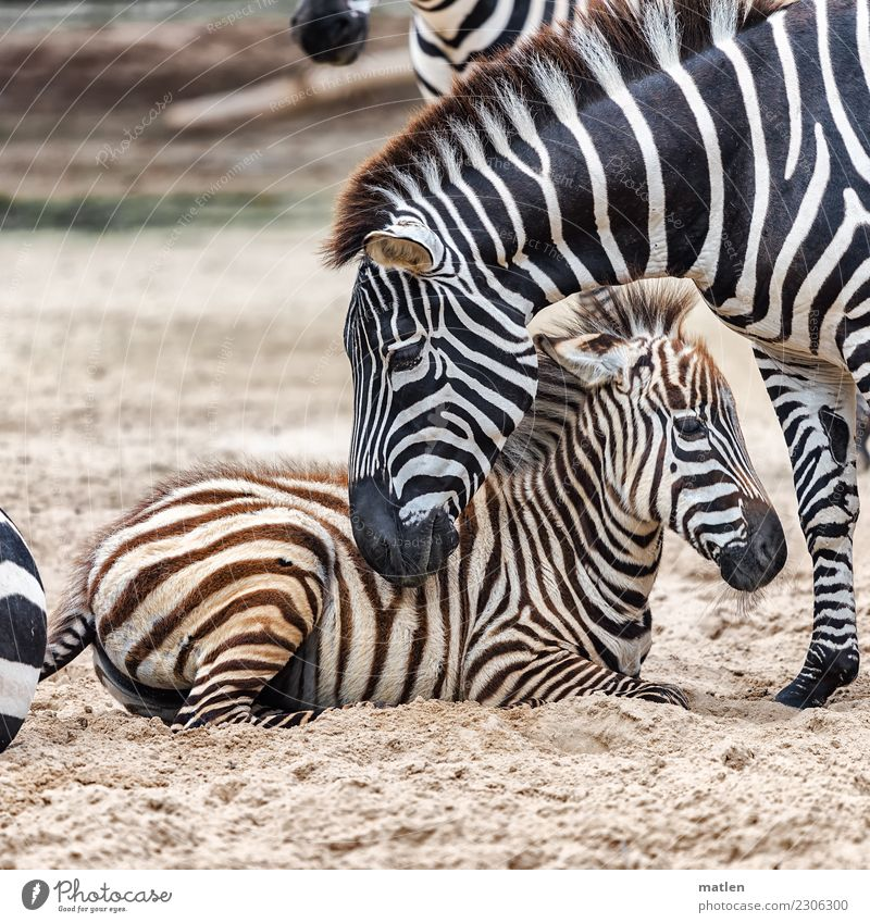 affection Animal Animal face 2 Baby animal Sand Observe Touch Lie Brown Turquoise White Zebra Affection Colour photo Subdued colour Exterior shot Close-up