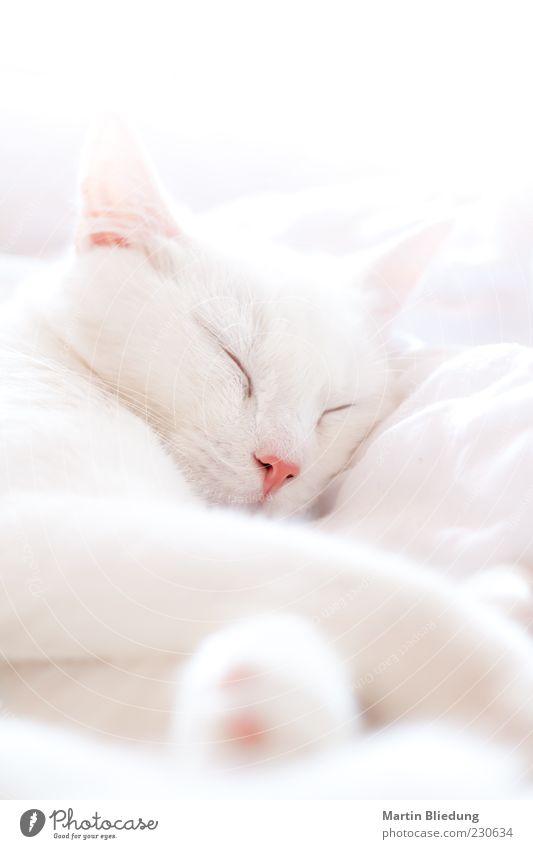 siesta Animal Pet Cat 1 To enjoy Sleep Dream Beautiful Cuddly Natural Pink White Love of animals Calm Doze Cat's head Stationary Break Lie Relaxation Soft