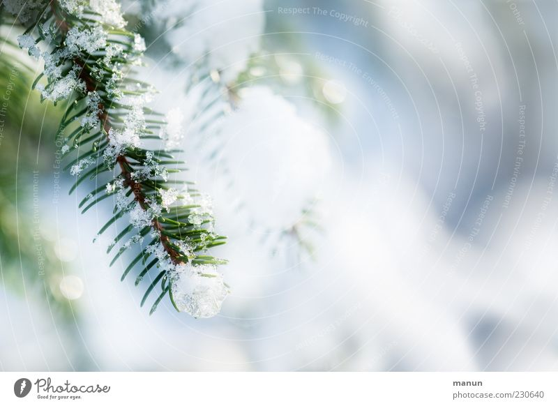 winter sun Winter Ice Frost Snow Tree Coniferous trees Twig Fir branch Fir needle Glittering Authentic Bright Beautiful Cold Colour photo Exterior shot Close-up