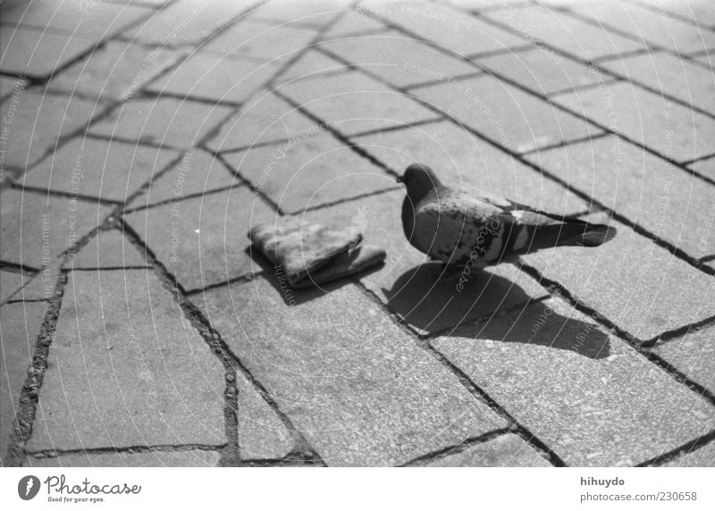 just you and me. Animal Wild animal Bird Pigeon Wing 1 Exceptional Cobbled pathway Inedible Trash Black & white photo Exterior shot Deserted Copy Space left
