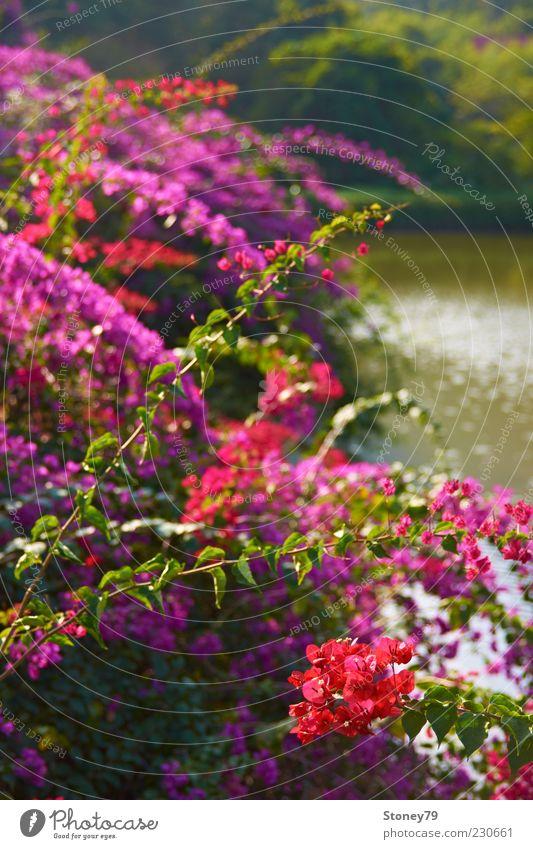 Flower Green Plant Red Blossom Lake Park Bushes Violet Fragrance Beautiful weather Pond