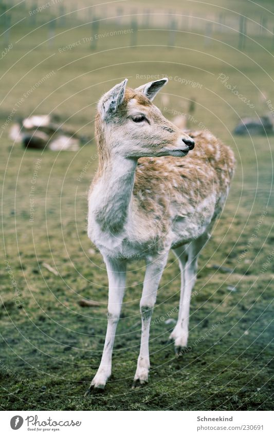 fawn Nature Grass Meadow Animal Wild animal 1 Baby animal Observe Pelt Beautiful Watchfulness Curiosity Game park Roe deer Fawn Colour photo Exterior shot