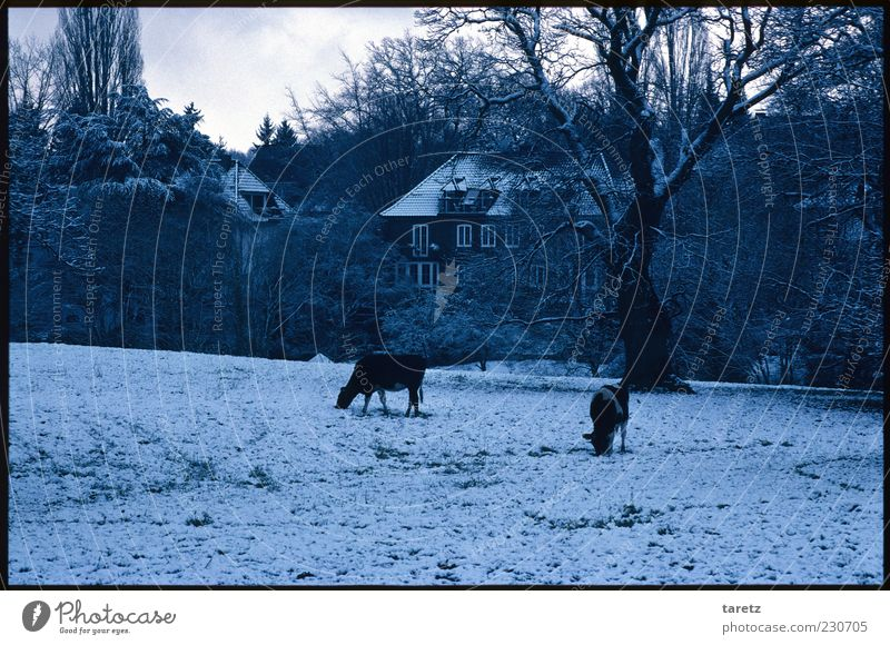 Tree Winter Animal Cold Snow Living or residing Bushes Pasture Cow Freeze Farmhouse To feed Bad weather Farm animal Foraging Leafless