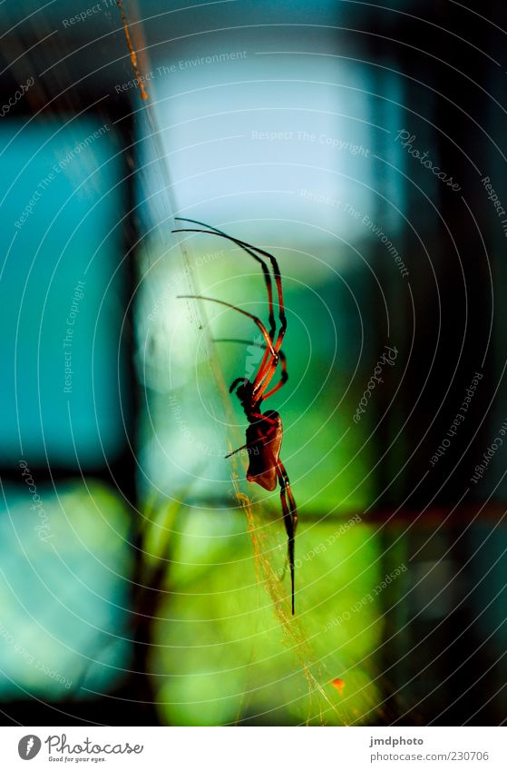 spider Nature Spider Spider's web Spider legs Build Aggression Threat Dark Disgust Elegant Exotic Blue Multicoloured Green Red Black Fear Colour photo