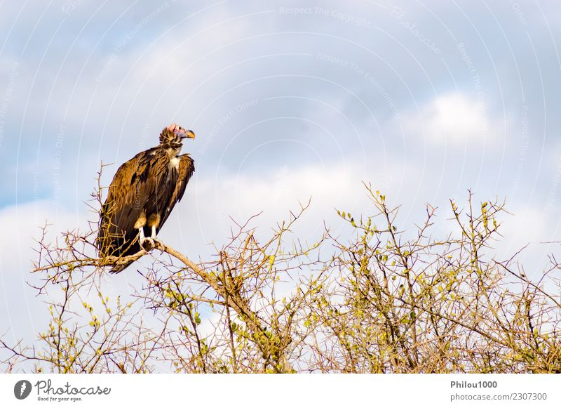 Vulture scavenger posed at the top of an acacia Nature Animal Sky Clouds Bird Butterfly Flying Dark Brown Black White Africa Kenya Masai Mara background Beak