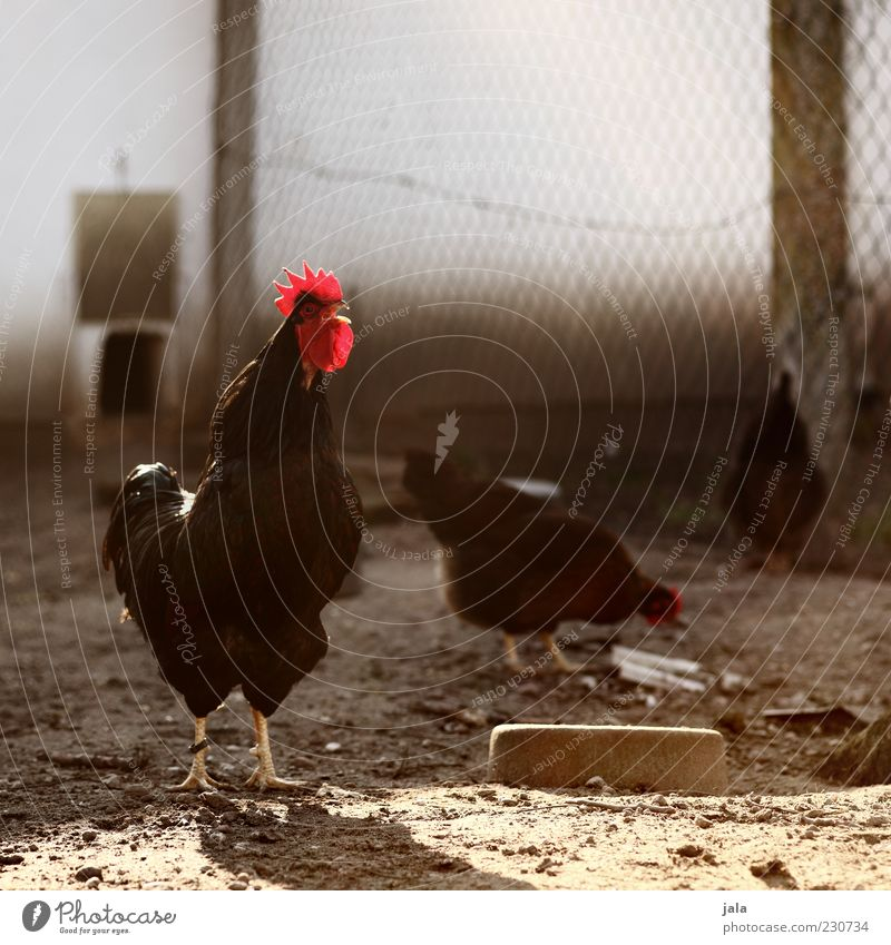 News from Uhlenbusch Animal Farm animal Animal face Wing Rooster Gamefowl 3 Group of animals Stand Chicken coop Fence Colour photo Exterior shot Deserted Day