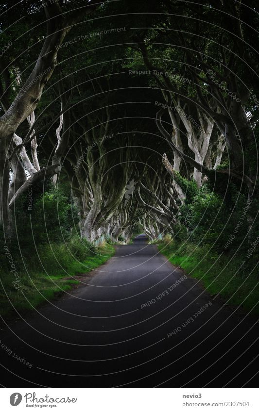 The dark hedges in Northern Ireland (Dark Hedges) Environment Nature Landscape Spring Plant Tree Grass Bushes Leaf Foliage plant Garden Park Forest Emotions