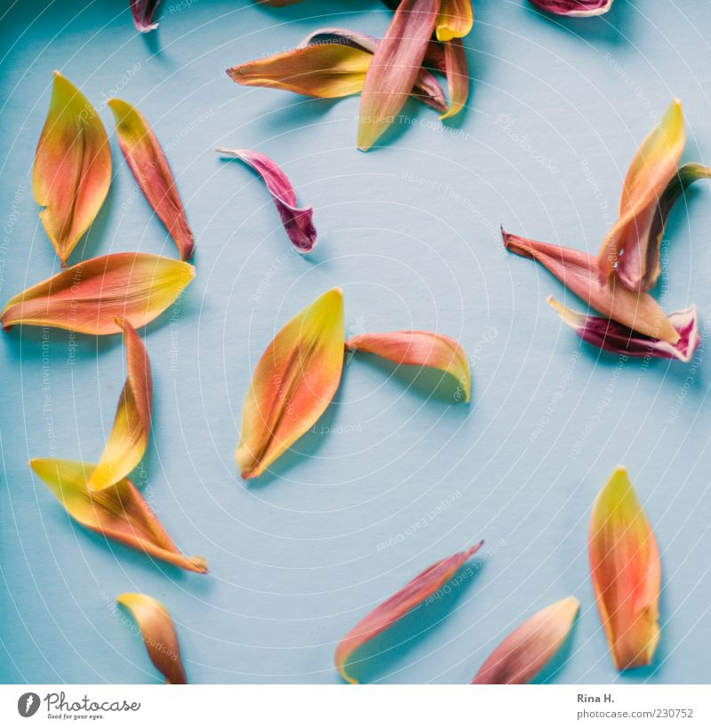 tulip leaves Leaf Faded Bright Blue Yellow Gold Transience Colour photo Interior shot Light Shadow Bird's-eye view Tulip blossom Blossom leave