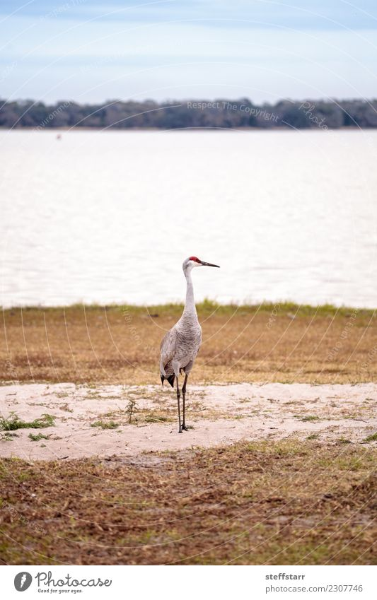 Sandhill crane bird Grus canadensis forages Nature Animal Water Grass Park Lakeside River bank Pond Red-haired Wild animal Bird 1 Flying Blue red crest