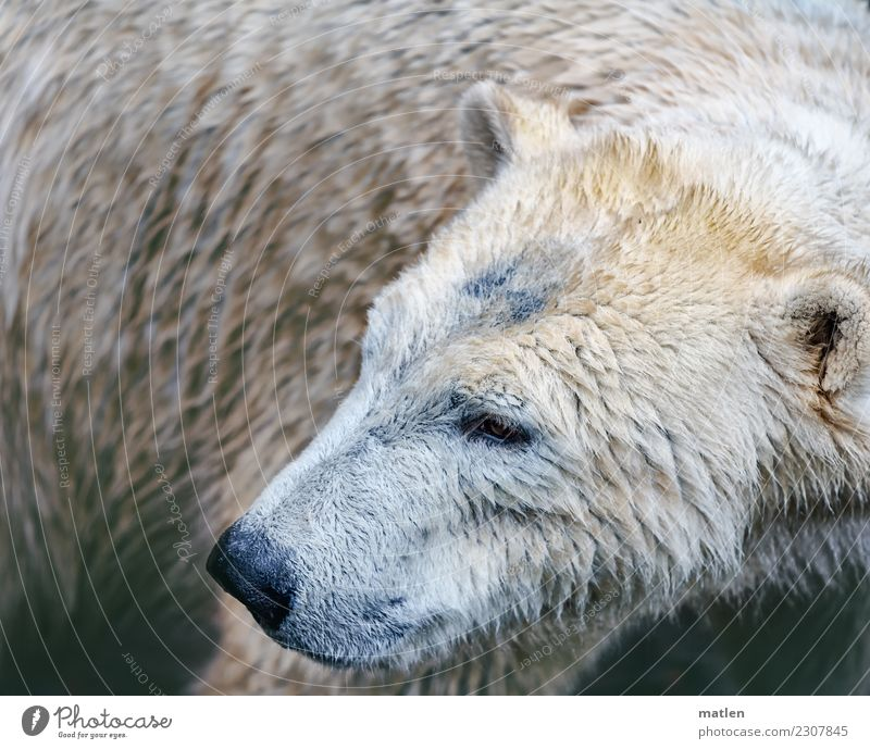 bear Bad weather Animal 1 Dirty Dark Wet Brown Gray White Polar Bear Colour photo Subdued colour Exterior shot Deserted Copy Space left Copy Space right