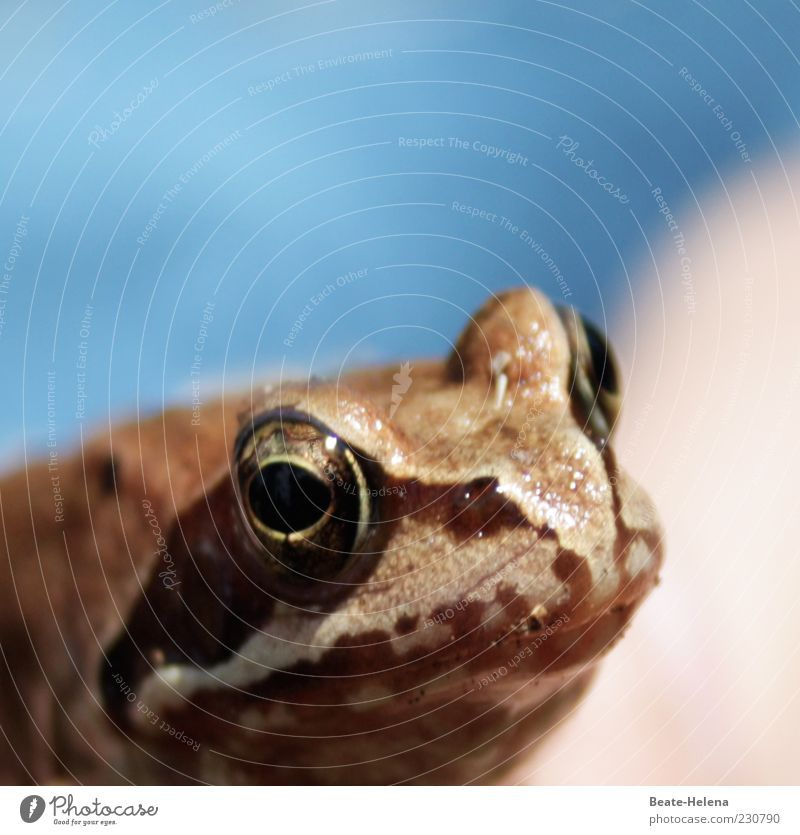 Nature Animal Brown Esthetic Observe Animal face Frog Fairy tale Muzzle Slimy Frog Prince Culture Symbols and metaphors Frog eyes