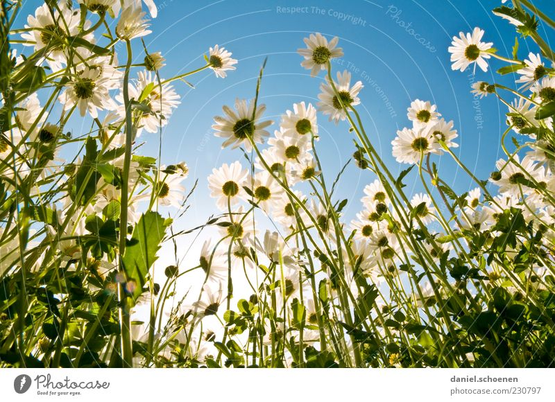 Sky Nature Blue Green White Plant Summer Flower Leaf Meadow Environment Blossom Spring Beautiful weather Marguerite Flower meadow