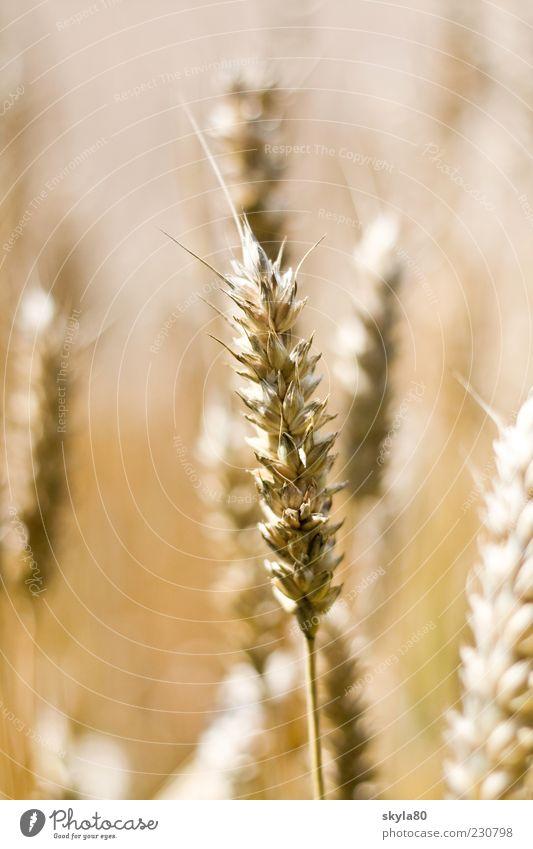 country love Wheat ear Agriculture Harvest Wheatfield Ear of corn Ingredients Eating Roll Field Landscape Environment Plant spike Cornfield Grain Grain field