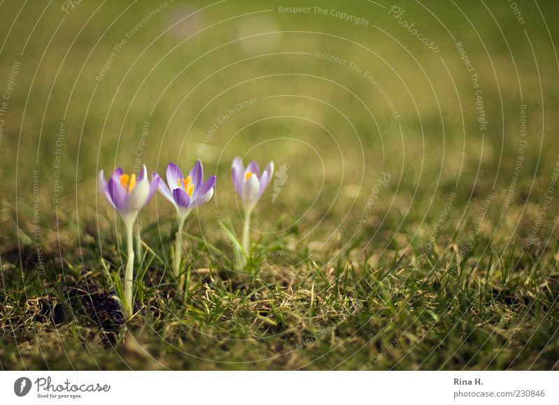 In rank and file Nature Plant Spring Beautiful weather Crocus Garden Meadow Blossoming Green Violet Spring fever Beaded Colour photo Exterior shot Deserted