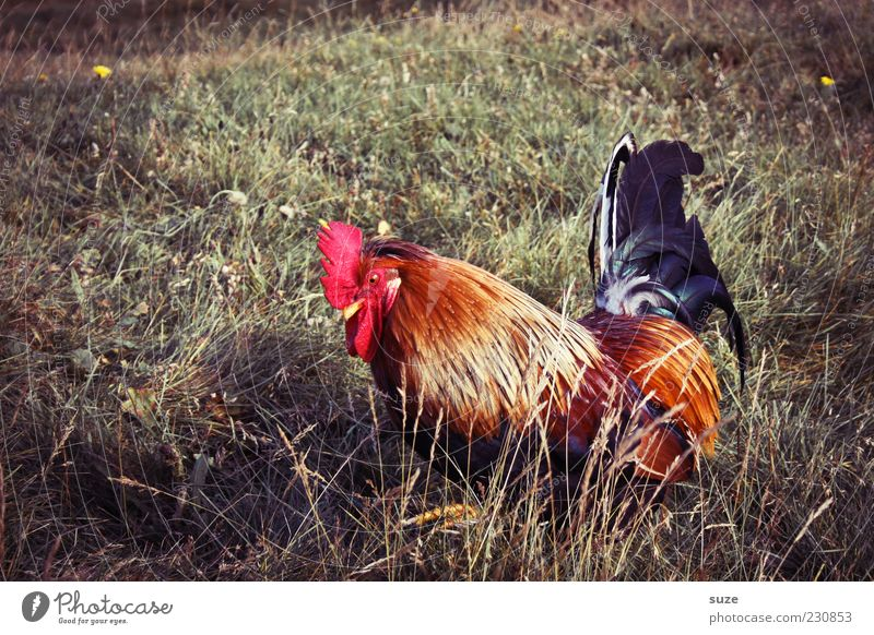 goggle Summer Nature Animal Grass Meadow Farm animal 1 Authentic Free Beautiful Natural Red Rooster Country life Free-roaming Free-living Feather Cluck Poultry
