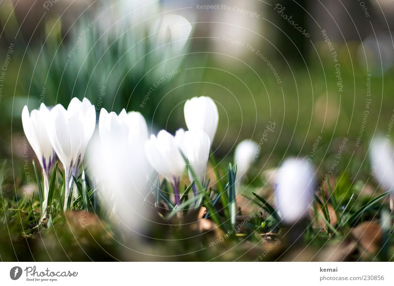 KAmiKAze - Crocuses Environment Nature Plant Sunlight Spring Beautiful weather Flower Blossom Foliage plant Garden Meadow Blossoming Growth Bright Green White