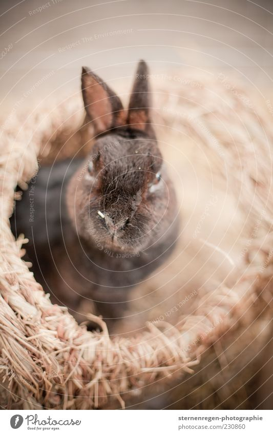 Animal Brown Cute Animal face Pelt Symbols and metaphors Hare & Rabbit & Bunny Pet Easter Bunny