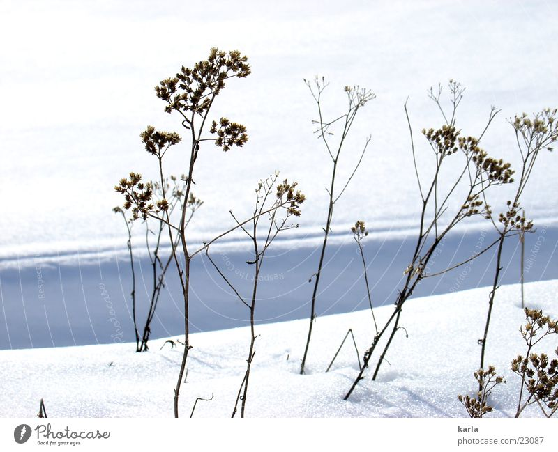 Sun Plant Winter Calm Cold Snow Thin Beautiful weather Resist