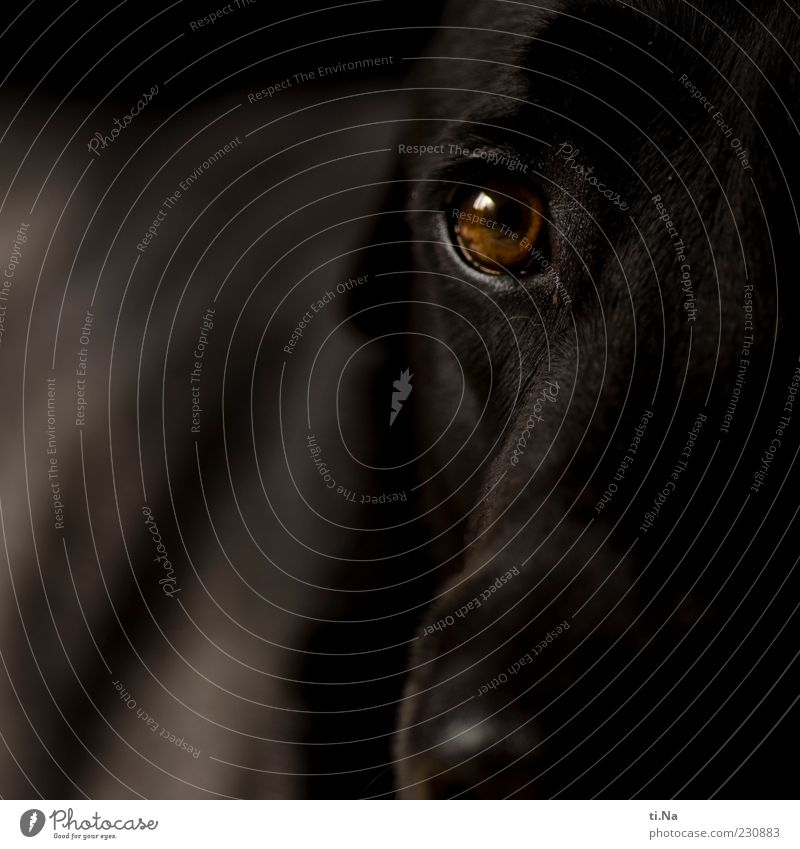 the ever-hungry gaze Animal Pet Animal face Labrador 1 Looking Friendliness Brown Black Trust Love of animals Loyalty Colour photo Subdued colour Interior shot
