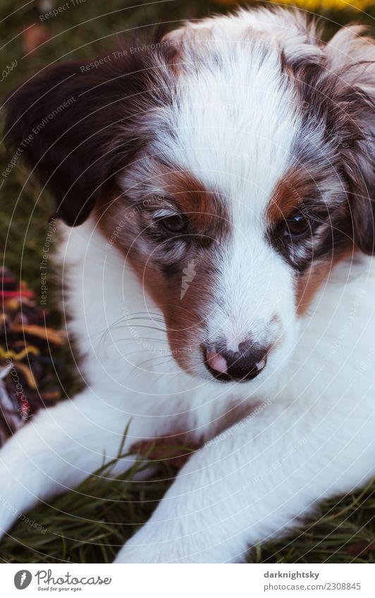 Tierportrait Australian Shepherd Aussie Welpe Animal Pet Dog Animal face Pelt Paw 1 Esthetic Exceptional Elegant Beautiful Cuddly Curiosity Cute Positive Retro