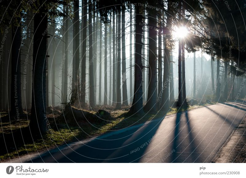 edge of the forest Environment Nature Sun Sunlight Climate Beautiful weather Fog Tree Coniferous forest Spruce Fir tree Tree trunk Forest Street Lanes & trails