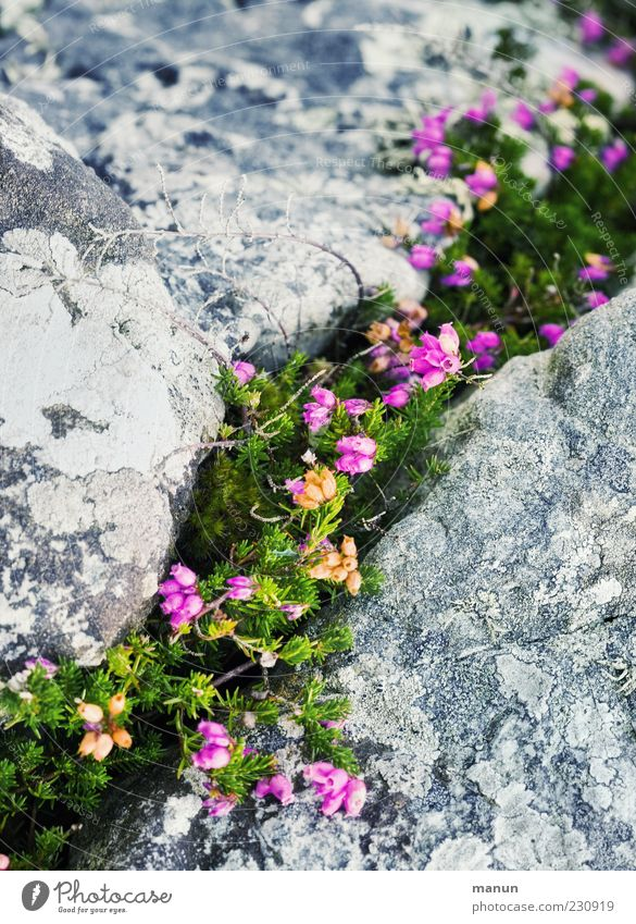 Nature Beautiful Plant Stone Natural Authentic Bushes Simple Stony Wild plant Broom Natural growth Mountain heather Heather family