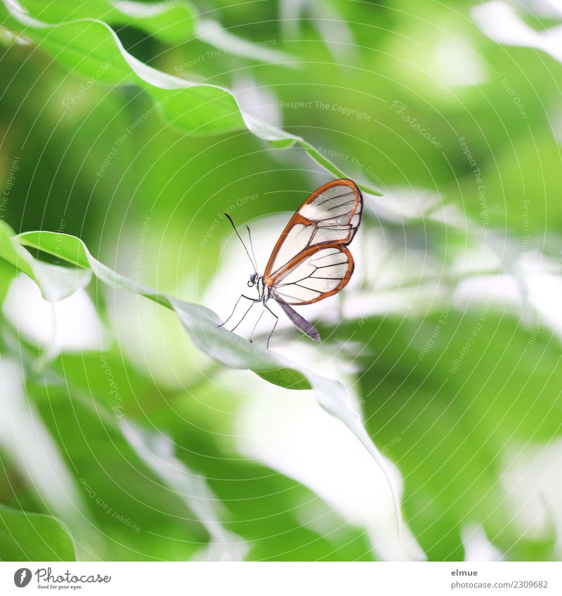 glass winged aircraft Leaf Butterfly Wing forest spirit Greta morgane Noble butterfly Feeler Tropical greenhouse Butterfly house Elegant Small Green Orange