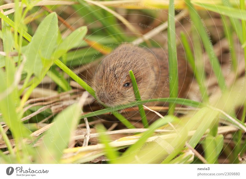 Small Environment Nature Landscape Grass Meadow Field Animal Pet Mouse 1 Brown Emotions Caution Field vole Rodent Living thing Nose Odor Keyboard Diminutive