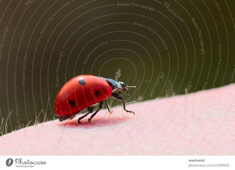 Ladybug on arm Human being Skin Arm 1 Environment Nature Animal Wild animal Beetle Ladybird Crouch Crawl Sit Carrying Green Pink Red Black Happy