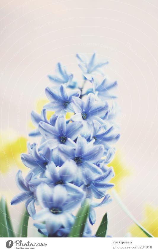 be blue Nature Plant Spring Summer Beautiful weather Flower Blossom Pot plant Esthetic Near Blue Yellow Colour photo Multicoloured Exterior shot Close-up Detail