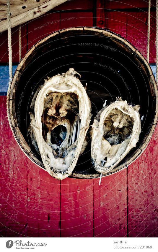 Red Animal Fish Set of teeth Fishery Dried Muzzle Keg Head Multicoloured Dead animal Stuffed animal See devil