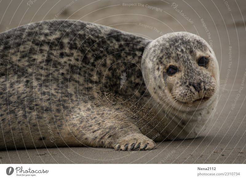 seals Environment Nature Animal Sand 1 Cute Gray seal Seal cub Helgoland Seals Overweight Mammal Beach North Sea Land-based carnivore Relaxation Colour photo