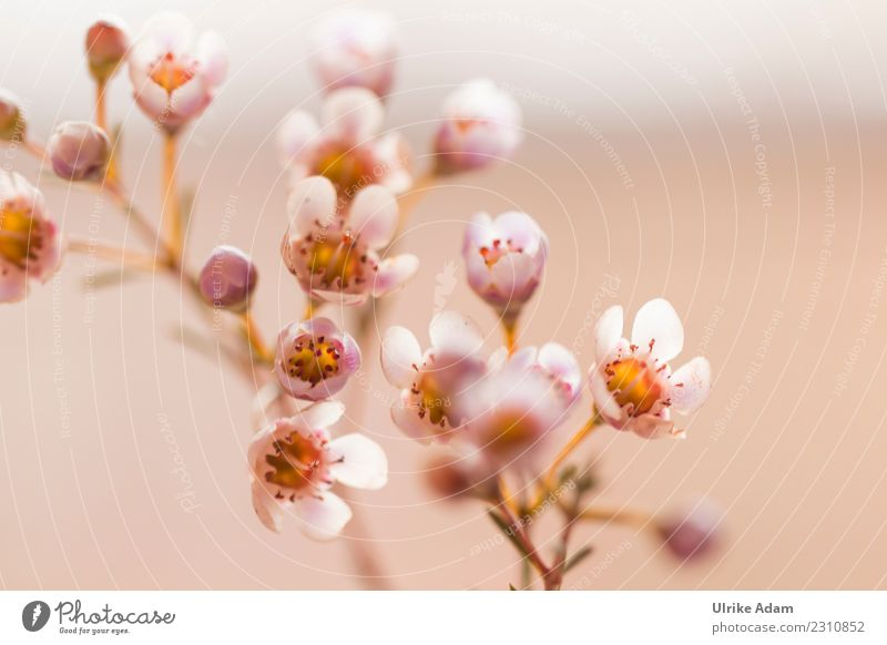 Delicate flowers of the wax flower Decoration Wallpaper Nature Plant Spring Summer Autumn Flower Blossom chamelaucium uncinatum Bouquet Blossoming Illuminate