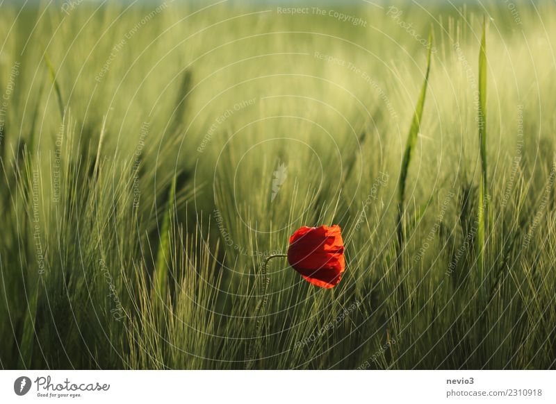 Poppy blossom in a barley field Environment Nature Plant Spring Summer Flower Grass Leaf Blossom Foliage plant Agricultural crop Exotic Meadow Field Green Red