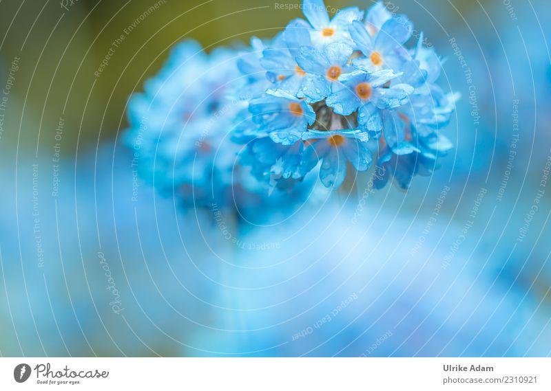 Macro of a blue ball primula (Primula denticulata) Elegant Design Life Harmonious Well-being Contentment Relaxation Calm Meditation Arrange Decoration Wallpaper