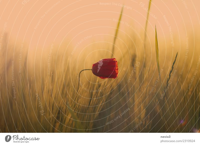 Poppy blossom in a cereal field Environment Nature Landscape Plant Flower Grass Leaf Blossom Foliage plant Agricultural crop Wild plant Meadow Field Yellow
