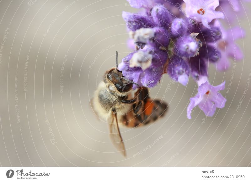 Bee hanging upside down on a lavender blossom Environment Nature Plant Spring Summer Flower Blossom Agricultural crop Wild plant Garden Park Animal Farm animal